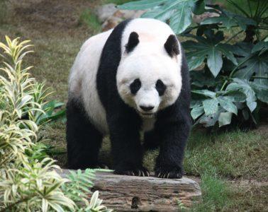 grosser_panda